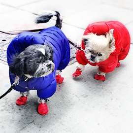 Fluffy and Muffy gets puffy in doggie puffer jackets and booties.