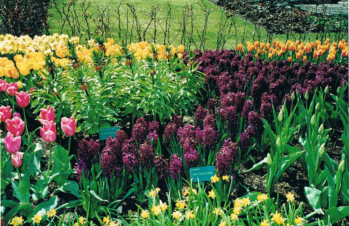 how to plant tulip bulbs in fall