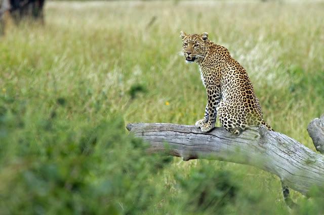 Buy wallart of Leopard in Serengeti