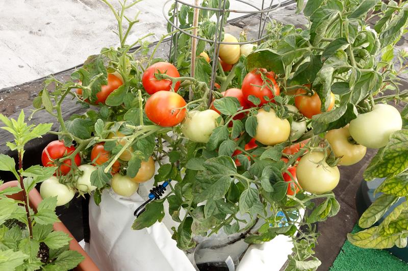 Tomato  Beaverlodge Slicer. Bucolic Bushwick  Top Seeds