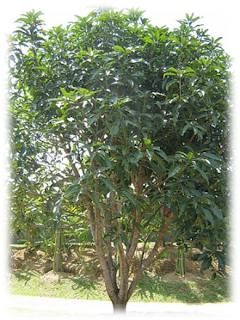 KUWENI (Mangifera odorata)