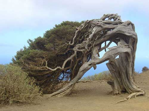 Árvores estranhas - Sabina