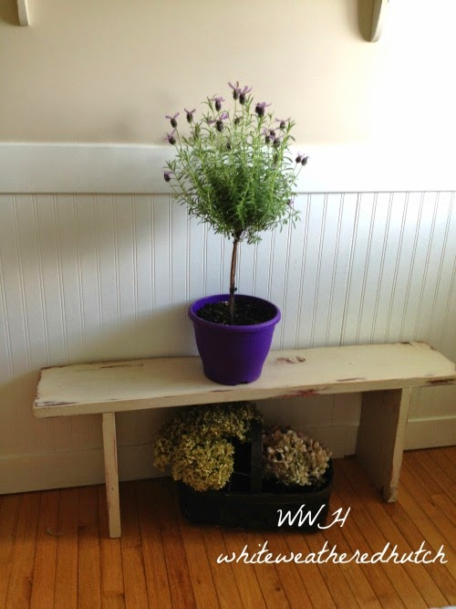 once the first flush of flowers is over you prune it back 50 new growth will produce fresh flowers and they will continue on till the fall - How To Grow Lavender Indoors