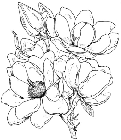 magnolia tree coloring pages - photo#8