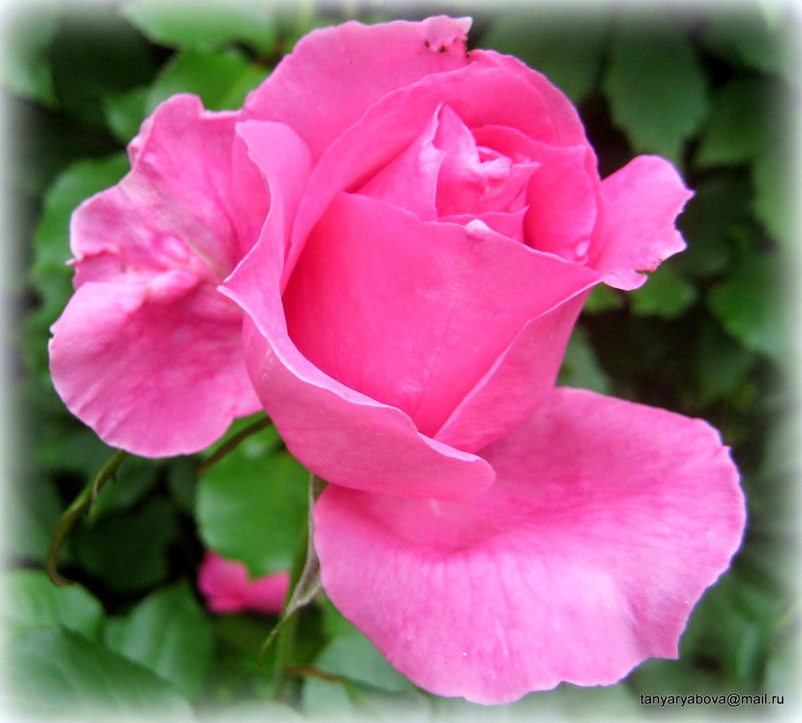 Розы 2014г.