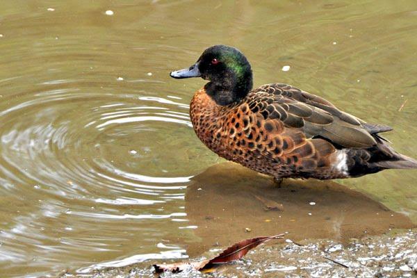 Crosslands Reserve mangrove duck