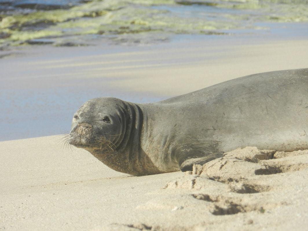 Monksealmania Blogspot Com 2 13 2012 Db Dailies Kaiwi Ll