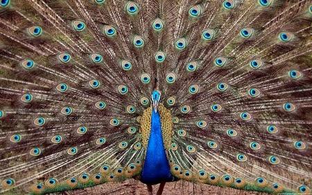 Gambar Cara Merawat Burung Merak