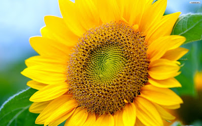 Gambar Bunga Matahari Tercantik