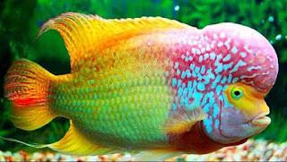 Macam - Macam Ikan Hias Yang Hidup Di Air Tawar