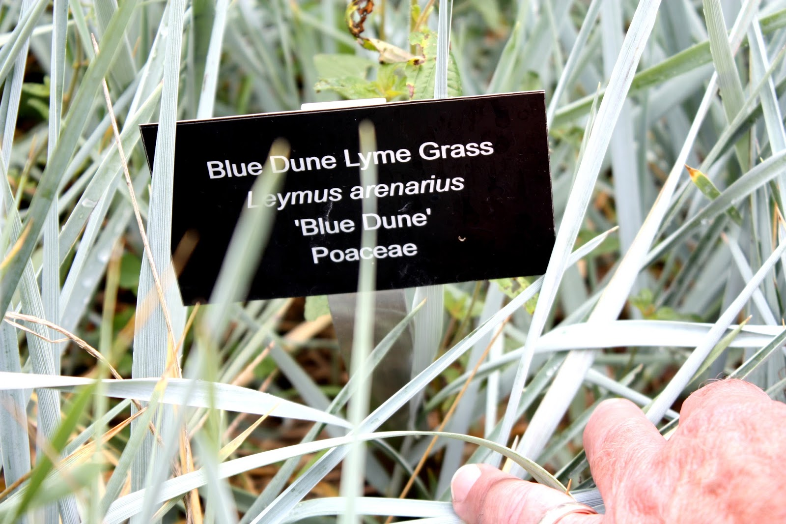 Blue lyme grass blue dune - Our Method For Visiting Botanical Gardens Is To Use The Camera To Record Plant Signs As Well As Taking Notes On Paper Each Plant Of Interest Is Recorded