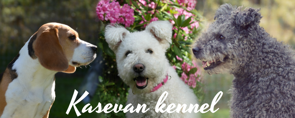 Kasevan kennel - pumi & beagle