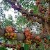 Koleksi Genus Ficus - Ara Sungai