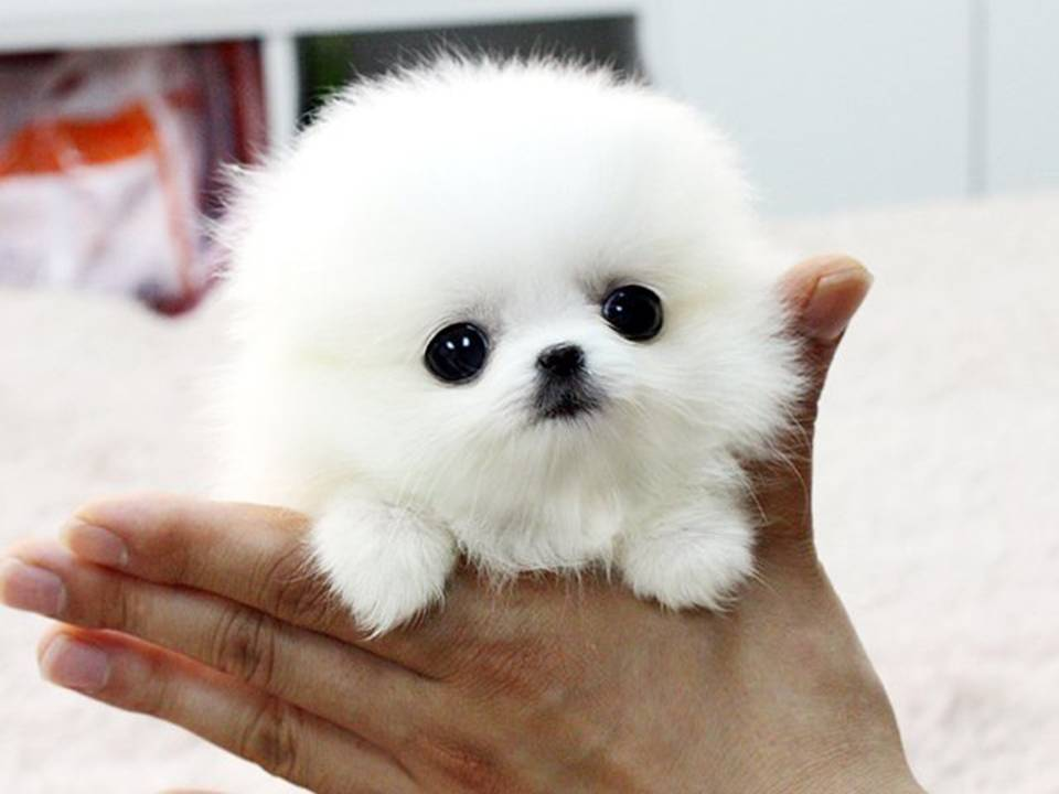 Lovely Pets: Teacup Pomerians