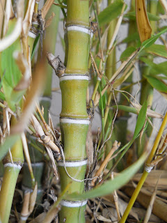 bambu dorado o Phyllostachys aurea