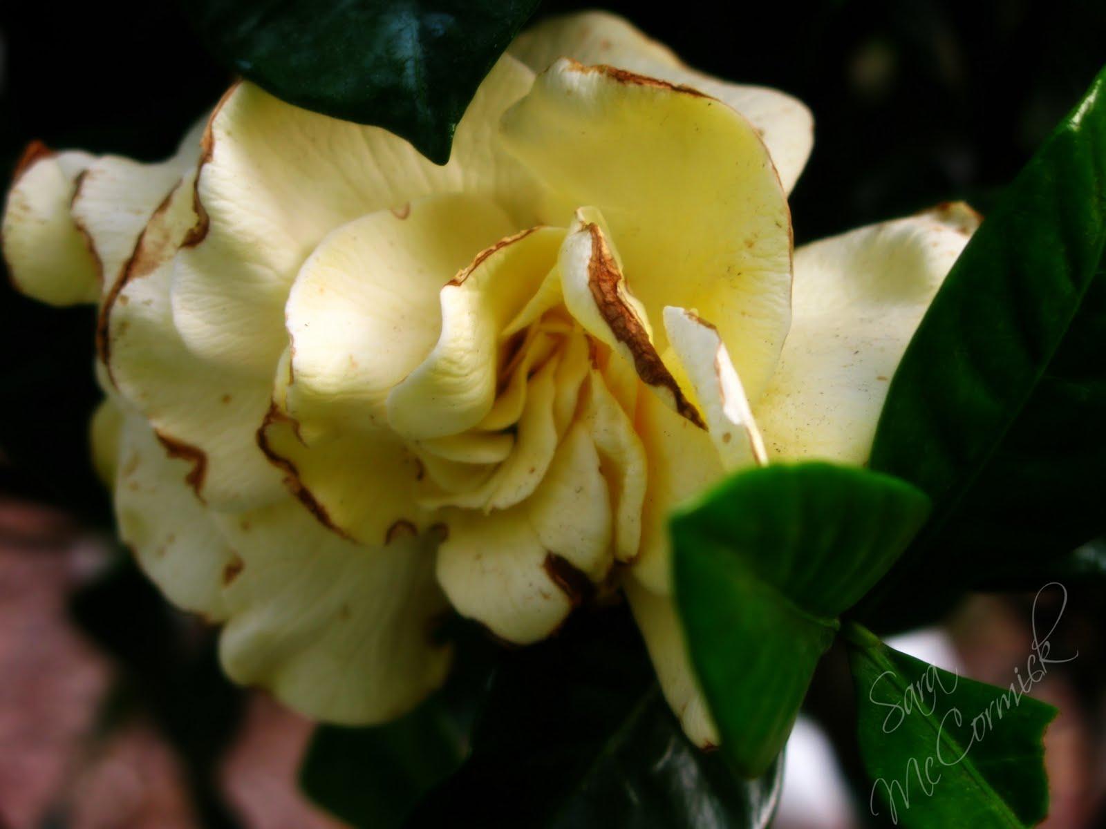 Bella deluna best smelling flower in the world