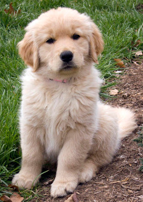 Cute Golden Retriever Puppies Photos