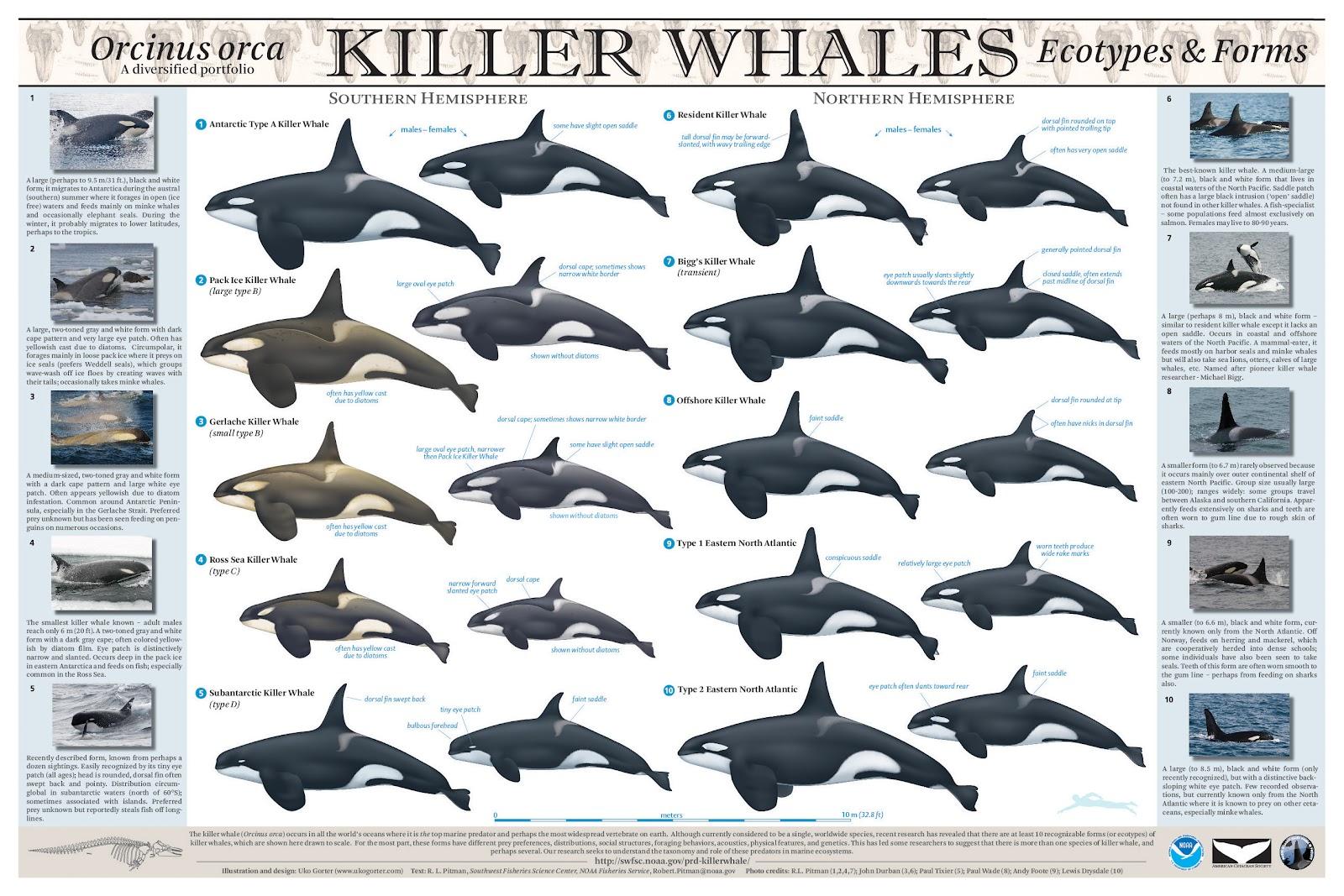 http://2.bp.blogspot.com/-0eLPbnCE-oM/UC0nh0B7UNI/AAAAAAAAADY/Jacb6Z6VmyA/s1600/Killer+Whale+Poster+(Credit+Uko+Gorter+&+Robert+Pitman+(SWFSC+NOAA)).jpg