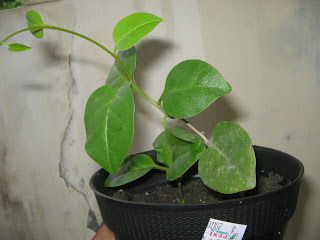 khasiat daun binahong