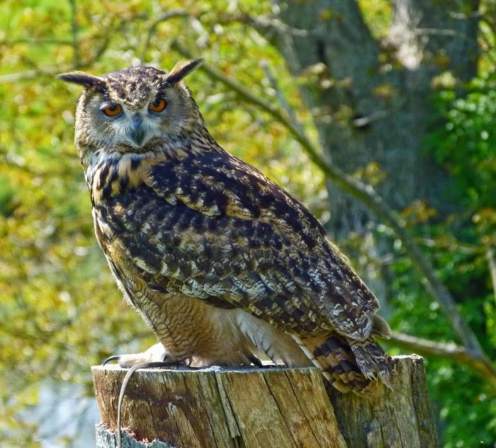 European Eagle Owl, birds of prey, Leeds Castle