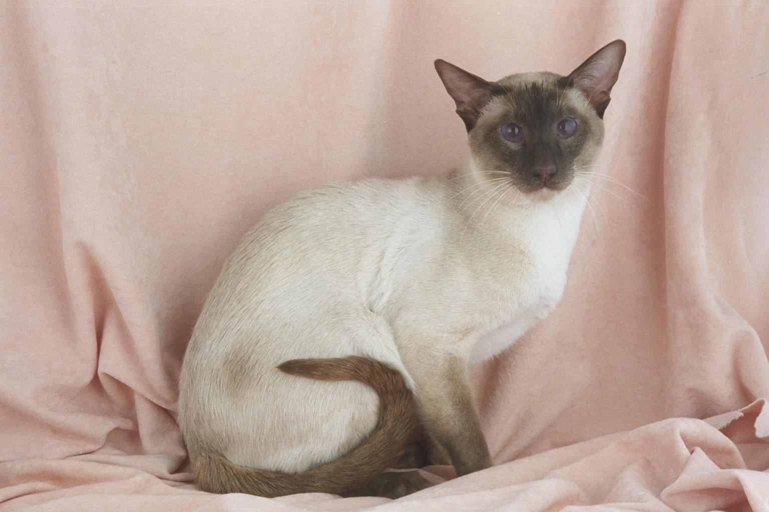 where did siamese cats come from
