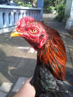 Sapu Jagat King Farm Ayam Asli Import Langsung Dari Thailand