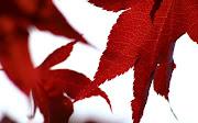 Red Leaves RedWhite Wallpaper