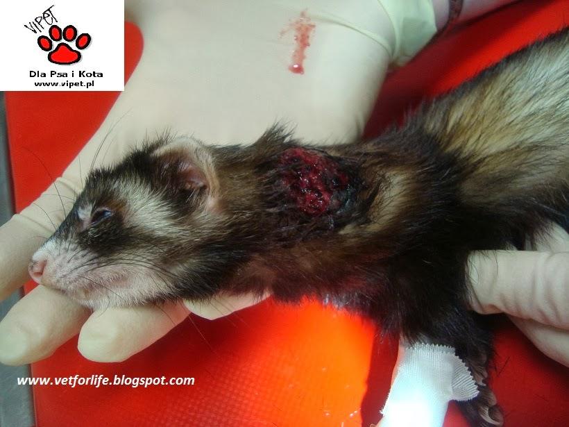 Prolapsed Rectum in Ferrets - PetEducationcom