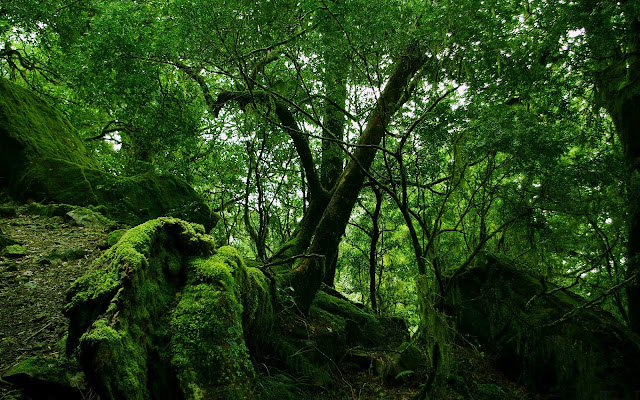 Dense Forest Moss Covered Trees HD Wallpaper