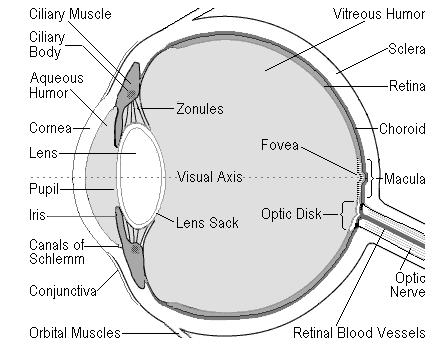 Parts Of The Eye And Its Function