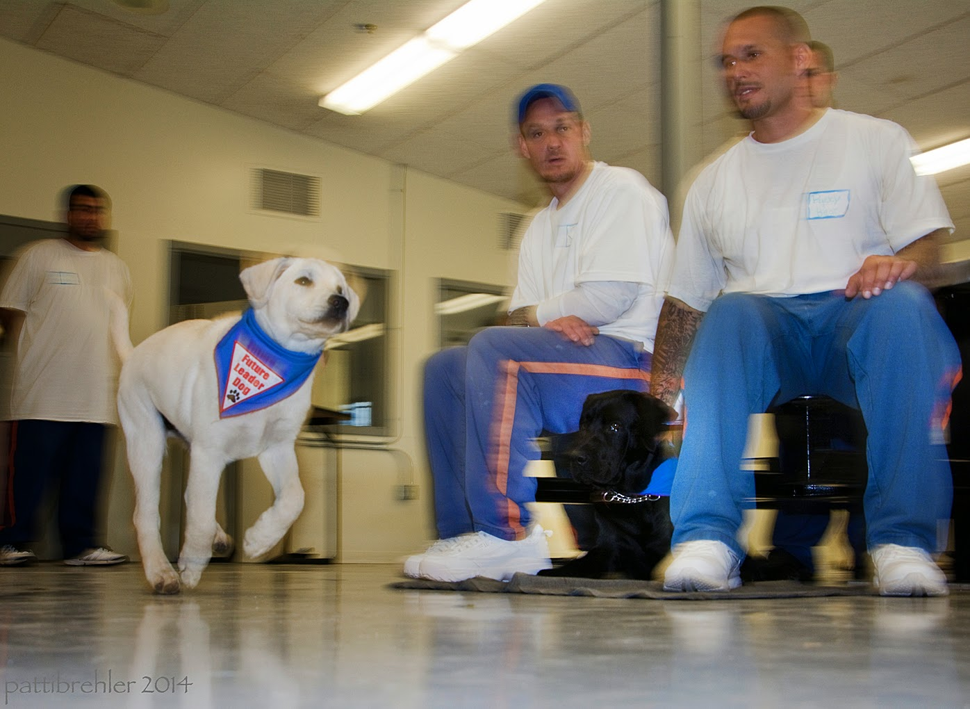 A young yellow lab puppy is running from left to right, he is wearing the blue Future Leader Dog bandana. The puppy is the only thing in focus in the photo. There is a man in the background to the left, wearing blue prison pants and a white t-shirt. He is standing and facing the puppy. On the right are two men sitting down on the lunch room stools, both wearing blue prison pants and white t-shirts, the one on the left is wearing a blue baseballc ap. Between these two men is a black lab lying on the cement floor. The picture is taken from floor level, so the ceiling is visible with long florescent lights.