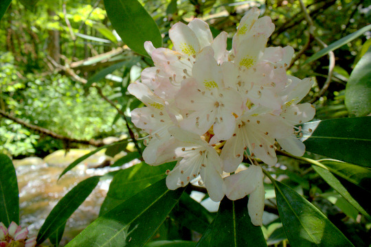Rhododendron blooms along Palmer Creek in Cataloochee Valley