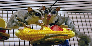 What Foods Can I Feed My Sugar Glider