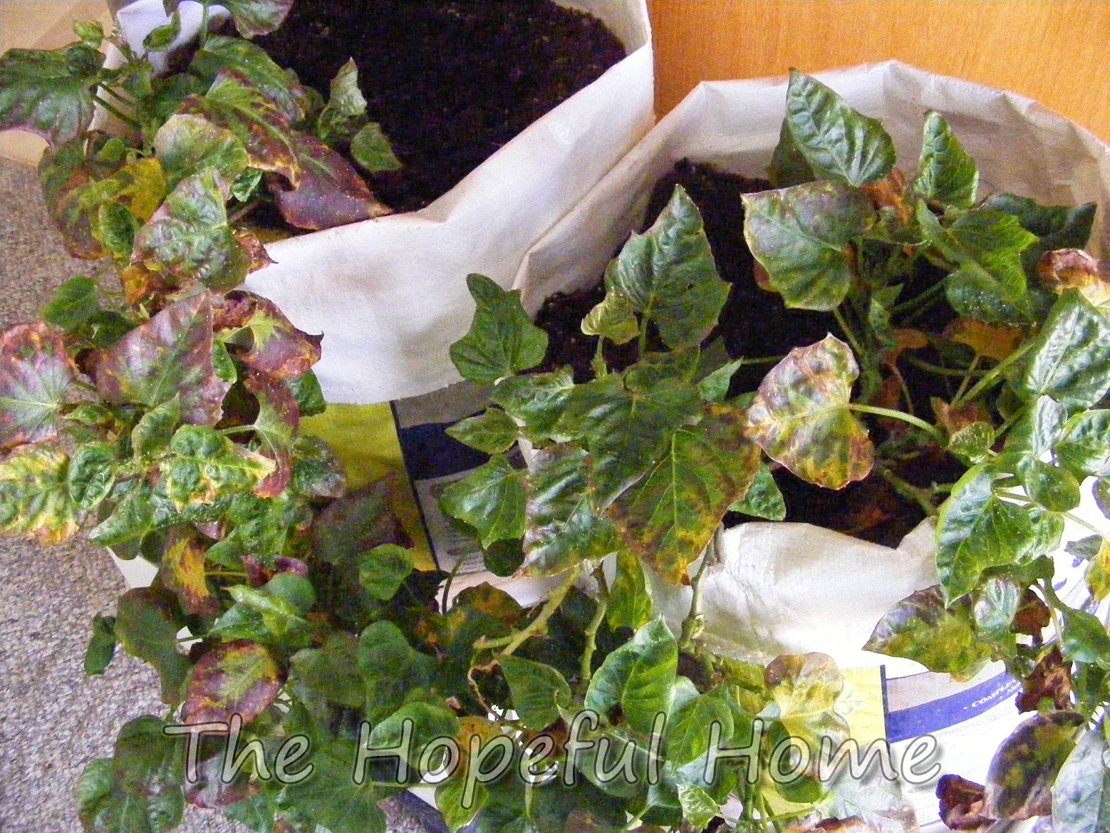 growing sweet potatoes in feed bag containers the hopeful home spot