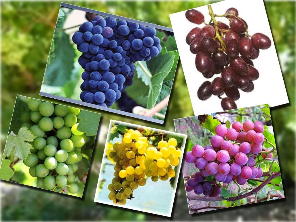 Manfaat Mengkonsumsi Buah Anggur