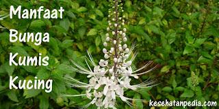 Manfaat Bunga Kumis Kucing