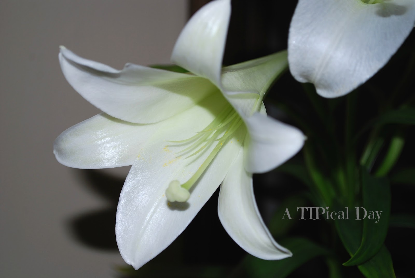 how to take care of lilies outdoors