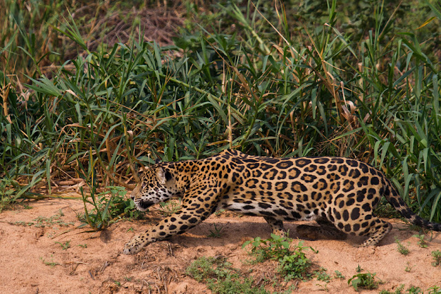 A photograph of a Jaguar stalking Capybara taken in the Pantanal in Brazil