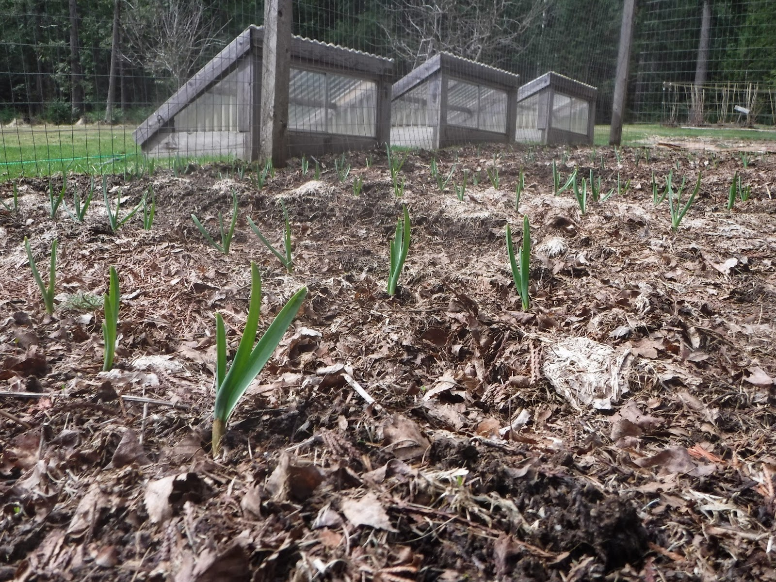 Growing Garlic in North Idaho Zone 5