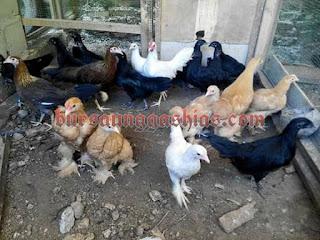 Jual anakan ayam hias black sumatra