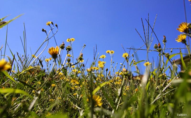 Ciel bleu et fleurs de crépis
