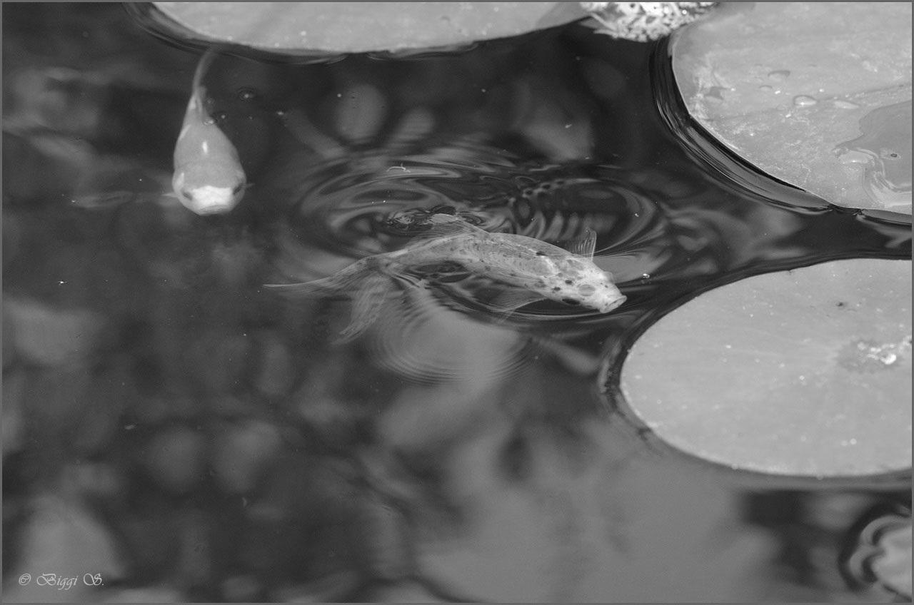 Biggis landtr umereien s w im fokus kw 38 for Goldfischarten teich
