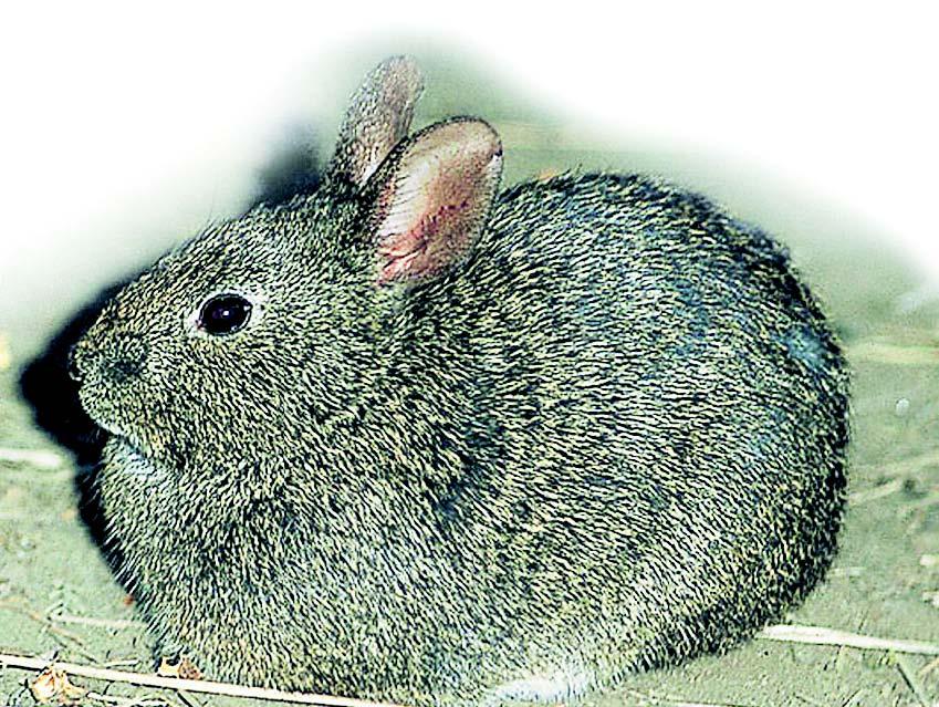 Volcano Rabbit ~ Animals World