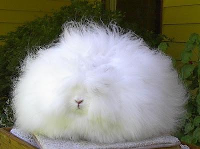 Giant-Angora-Eccentric-Rabbits-Organisms