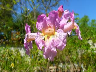 Flores Lapacho Rosado