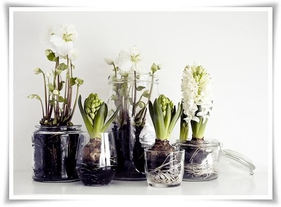 hyacinter julros, plantera, transparent glas krukor, hyacinth helleboures, plant, transparent glas pots
