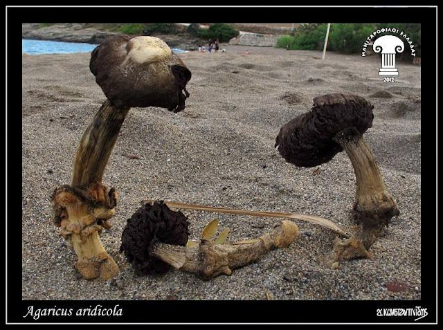 Agaricus aridicola Geml, Geiser & Royse