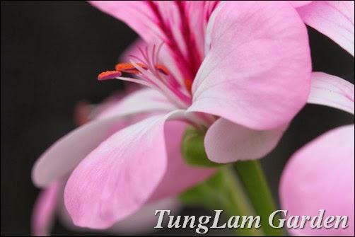 hoa treo ban công, phong lữ thảo, phong lữ thảo rủ, bán hoa phong lữ thảo rủ