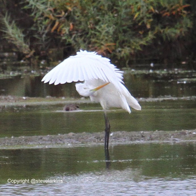 Great White Egret preening