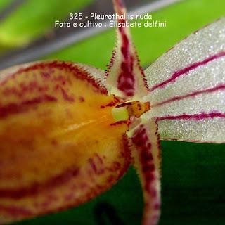 Pleurothallis nuda, Restrepia nuda, Restrepia vittata, Restrepia biflora